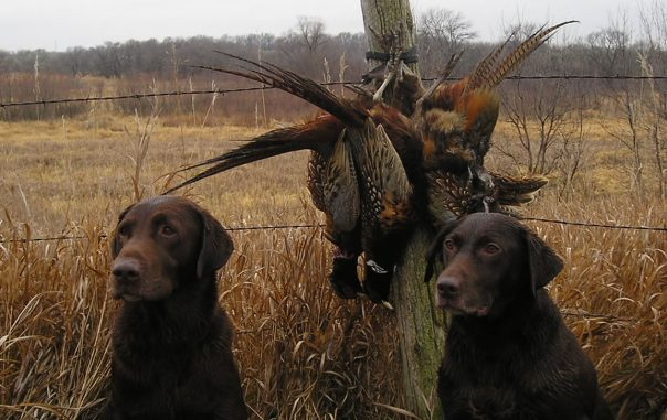 Hunting_dogs_with_catch