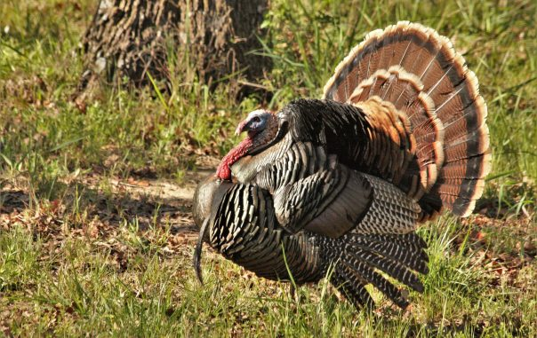 tom-turkey-close-up-2